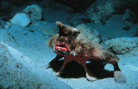 Batfish1