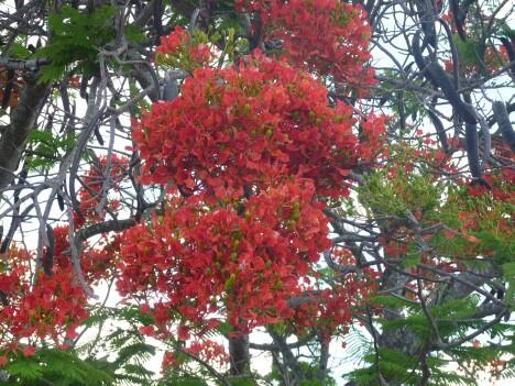 Royal Poinciana Flowers