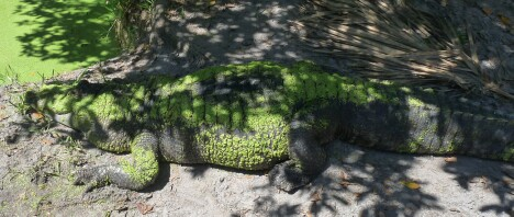 Duckweed-covered Gator