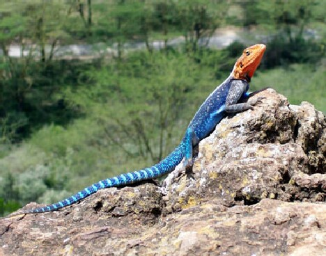 Red-headed Agama in mating garb