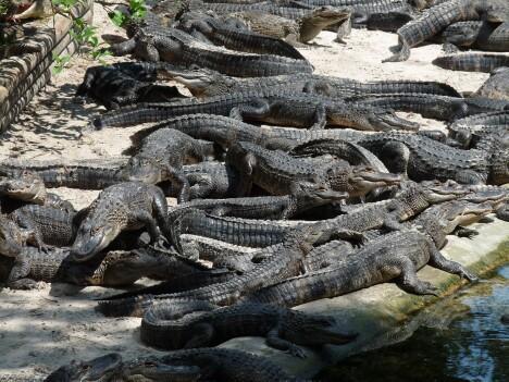 Pile of Gators