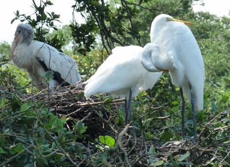 Nesting Egrets