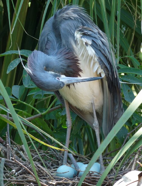 Nesting Tri-Color Heron