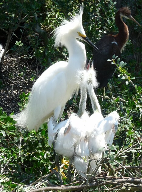 Snowy Egret and Hungry Chicks