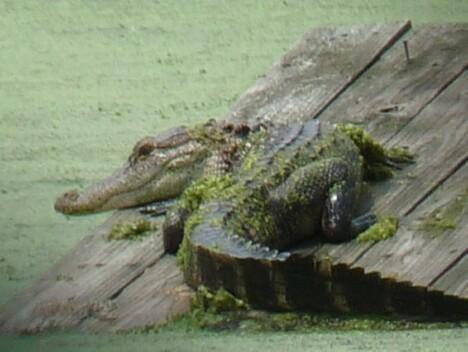Baby Gator catching some rays