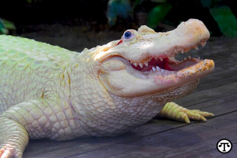 Leuistic White Alligator