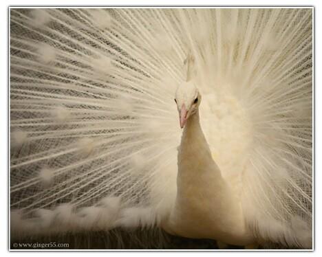 White Peacock 2