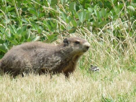 Yorktown Groundhog