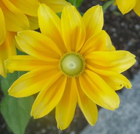 Bar Harbor Flower