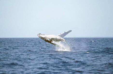 Whale Breaching 1