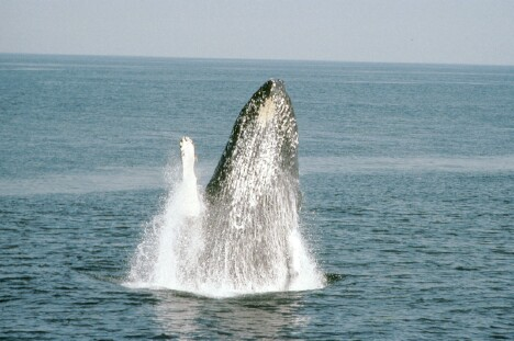 Whale Breaching 2