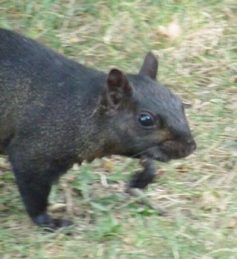 Black Squirrel 1