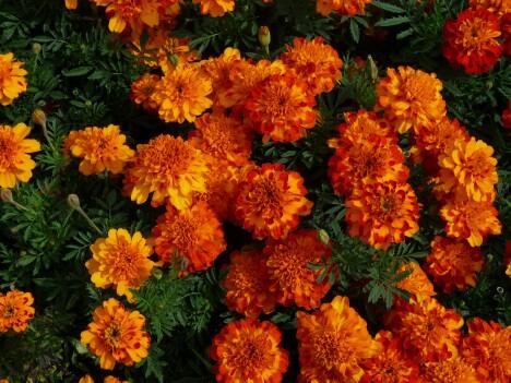 Niagara Flowers 1