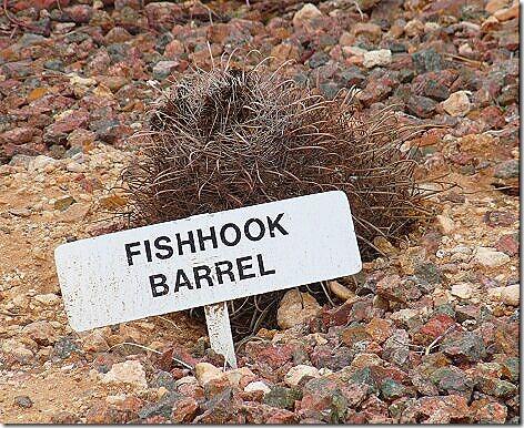 FishhookBarrelCactus