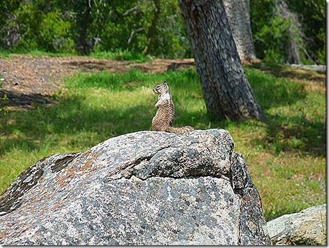 GraySquirrel 1
