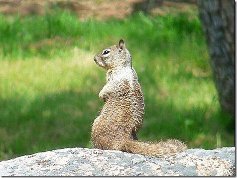 GraySquirrel 2