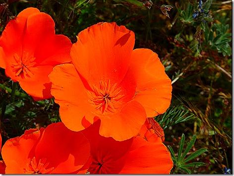 Poppies 5