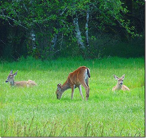 AmSunSet Deer