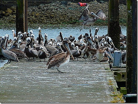 Pelicans 4