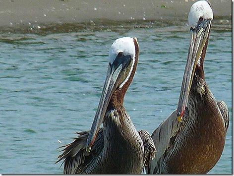 Pelicans 6