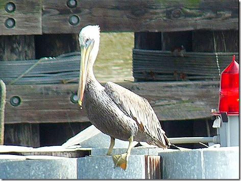 Kemah Pelicans 1