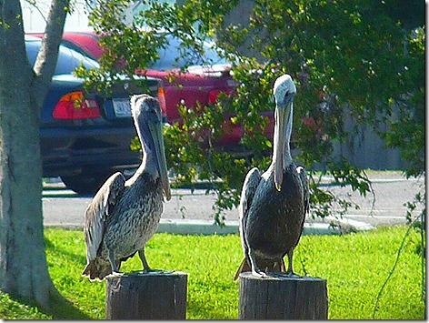 Kemah Pelicans 2