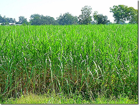 Sugar Cane 2