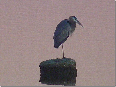 Boxing Day Great Blue Heron 2