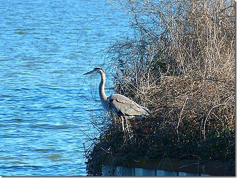 Lake Livingston Heron2