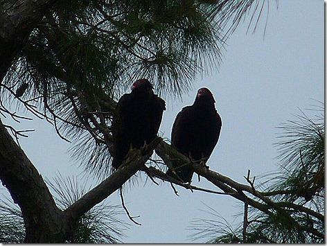 Turkey Vultures 1