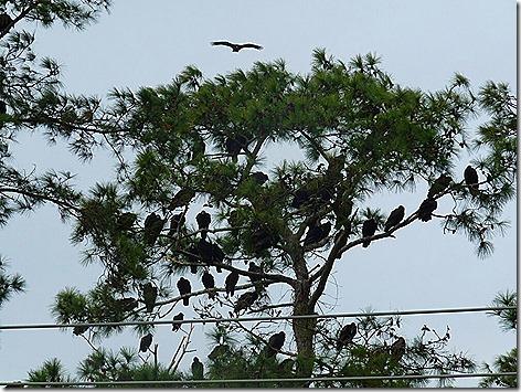 Turkey Vultures 3