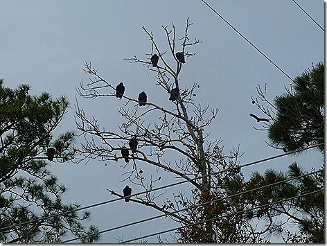 Turkey Vultures 4