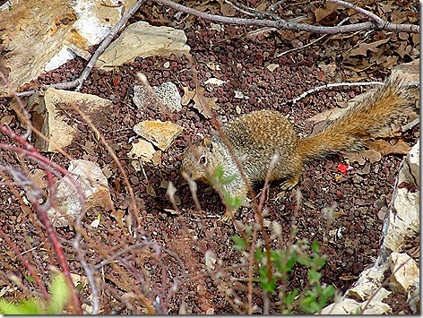 Canyon Squirrel 1
