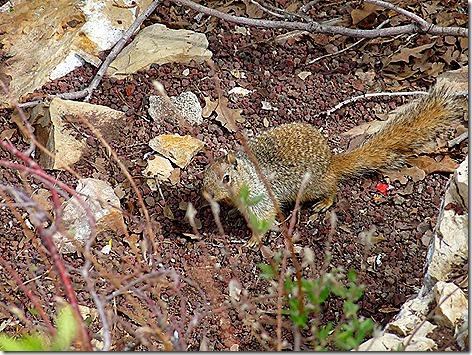Canyon Squirrel 1