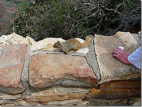 Canyon Squirrel 2