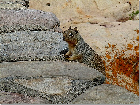 Canyon Squirrel 4