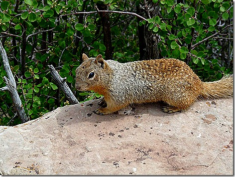 Canyon Squirrel 5