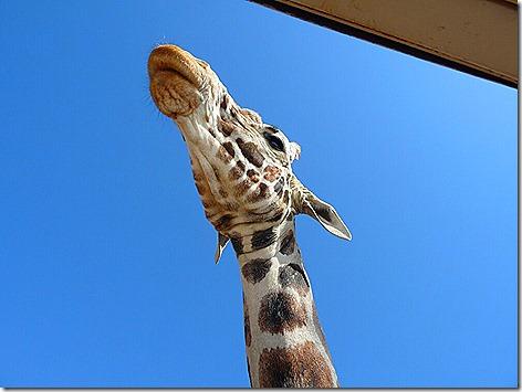 Giraffe Feeding 3