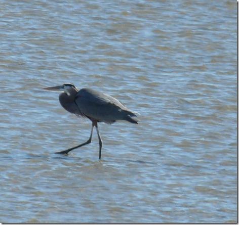 Great Blue Heron on Mudflat
