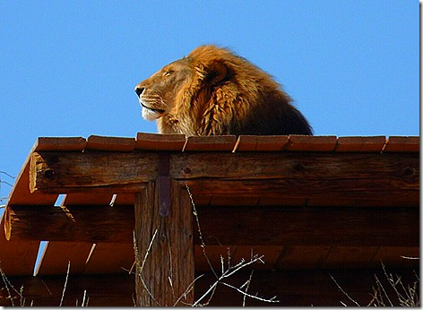 Lion on Roof