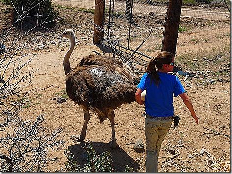 Ostrich Herding