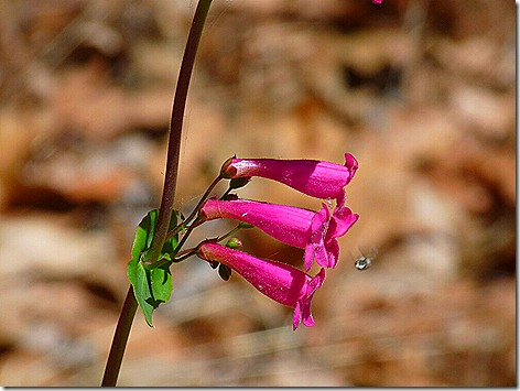Penstemon 0