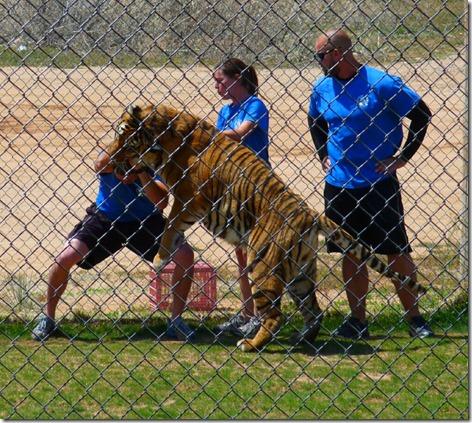 Tiger Hug 2
