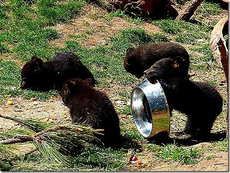 Bear Cubs 1