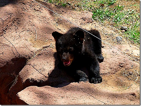 Bear Cubs 2