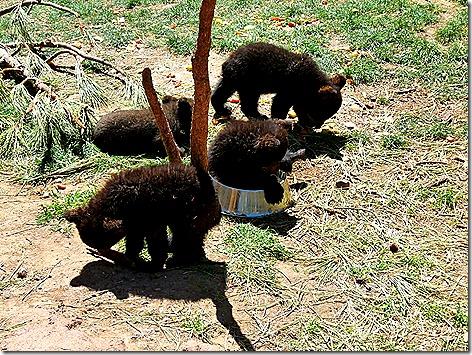 Bear Cubs 3