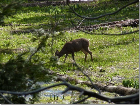 Sequoia Deer