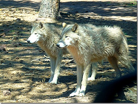 Wolves 2