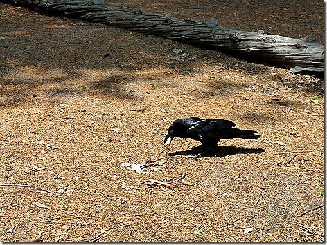Yosemite Raven