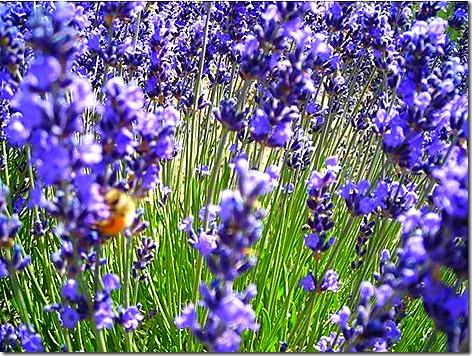 Lavender in Bloom 2